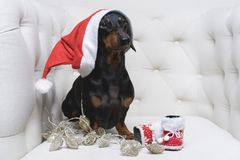 Dog of Dachshund breed, black and tan, in Santa Claus Christmas cap, boots and garland sits in a white armchair.  royalty free stock image