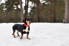 Dog Dachshund in a forest Stock Photos
