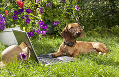 Dog dachshund in glasses Royalty Free Stock Photos