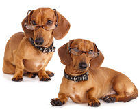 Dog  Dachshund in glasses close-up Stock Images