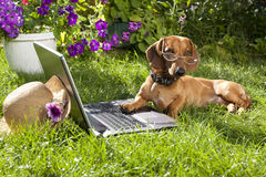 Dog  dachshund and laptop computer Stock Image