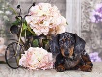 Dog dachshund Royalty Free Stock Images