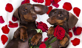 Dog dachshund  and red roses Royalty Free Stock Photos