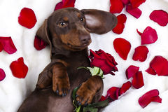 Dog dachshund and red roz Stock Image