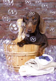 Dog dachshund and  soap bubble. Miniature dachshund  in wooden wash basin with soap bubble Royalty Free Stock Images