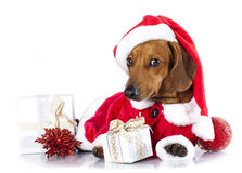 Dog  dachshund wearing a santa hat Royalty Free Stock Images