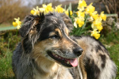 Dog with daffodils. Spring time in the garden - daffodils blooming and grass is growing Stock Images
