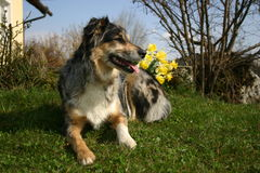 Dog with daffodils Stock Image