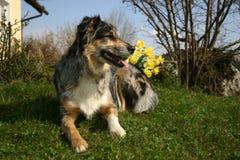 Dog with daffodils. Portrait of Australian shepherd in the garden Stock Image