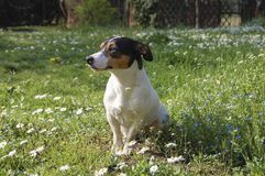 Jack Russell Among the Daisies royalty free stock photo