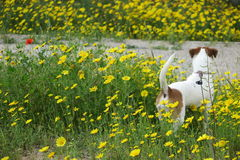 DOG IN DAISIES stock photo