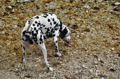 Dog dalmatian Royalty Free Stock Images