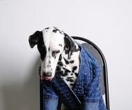 Dog Dalmatian licking in a blue jacket sits on an office chair on a white background. Funny portrait Stock Photo