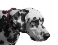 Dog Dalmatian portrait i Stock Image