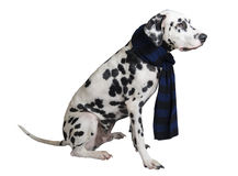 Dog Dalmatian sitting in a black-and-blue knitted warm scarf Stock Photo