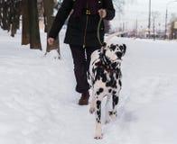 Dog Dalmatian and Woman walking Royalty Free Stock Image