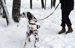 Dog Dalmatian and Woman walking Stock Photo