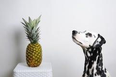 Dog dalmatianen och ananas på en vit bakgrund Arkivfoton