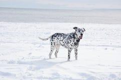 Dog dalmatians snow winter ocean stock photo