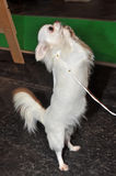 Dog is dancing royalty free stock images