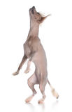 Dog dancing Royalty Free Stock Images