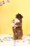 Dog dancing for food Stock Image