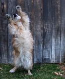 Dog Dancing Royalty Free Stock Photos