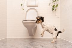 Dog is dancing on the toilet - Jack Russell Terrier royalty free stock photos