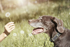 Dog and dandelion Royalty Free Stock Image