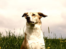 Dog in the dandelion meadow, portrait. Front view Royalty Free Stock Photography