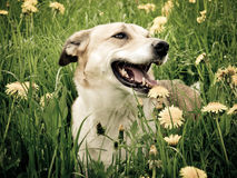 Dog in the dandelion meadow, portrait,. Side / front view, 141 Stock Image