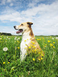 Dog in the dandelion meadow (50) Royalty Free Stock Photos