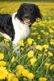 Dog with dandelions Royalty Free Stock Photo