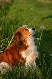 Dog with dandelions. A dog looking upwards to the dandelion seeds that fly down. She already has some seeds on her head Stock Photography