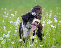 Dog in the Dandelions. A brown and white Portuguese Water Dog in a field full of dandelions on a hot summer day, panting Royalty Free Stock Image