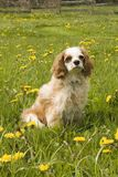 Dog and dandilions Royalty Free Stock Photography