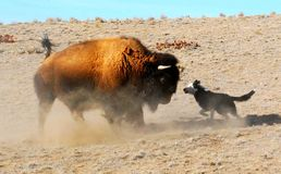 Dog Dares a Buffalo Bison Royalty Free Stock Photo