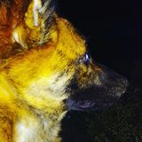 Dog. Dark Knight dog royalty free stock images