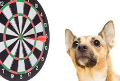 Dog and darts Stock Image