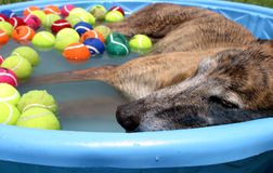 Dog Day Afternoon. On a blistering hot, humid summer day in Texas, this greyhound takes a nap in a kiddie pool Royalty Free Stock Image