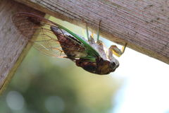 Dog-day cicada Stock Photo