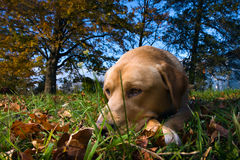 Dog Days. Yellow Labrador retriever resting in the grass during the fall Stock Image