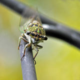Dog Days of Summer. A macro image of a common dog-day cicada sitting on a wrought iron shepherd's hook Stock Image