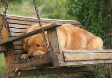 Dog Days of Summer. A Golden Retriever rests on a swing under an oak tree during the dog days of summer royalty free stock images