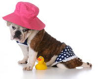 Dog days of summer. Bulldog puppy wearing a bikini on white background Stock Photo