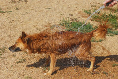 Dog Days of Summer: watering down dog with hose Royalty Free Stock Image