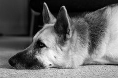 Dog Daze. Black/white of a dog laying on the carpet. image has a relaxed feel, dog has expression of laziness Stock Photo
