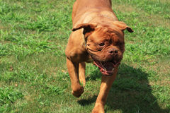 Dog de Bordeaux Stock Images