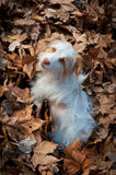 Dog on dead leaves Stock Image