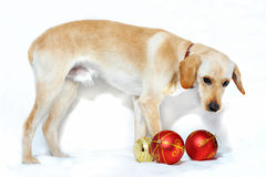 Dog with decorative balls Stock Image
